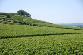 Un viñedo espléndido