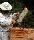 Un apicultor, recolectando miel