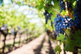 Cosecha vinos Navarra