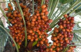 Dátil fruta desecada