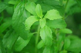 Hojas de stevia en planta